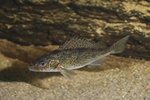 Ruffe  (Gymnocephalus cernuus)